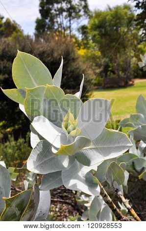 Silver Green Leaves