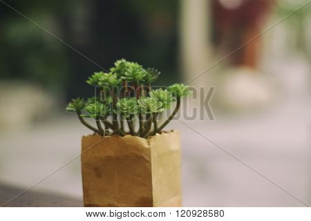 Dwarf Shrub Plant