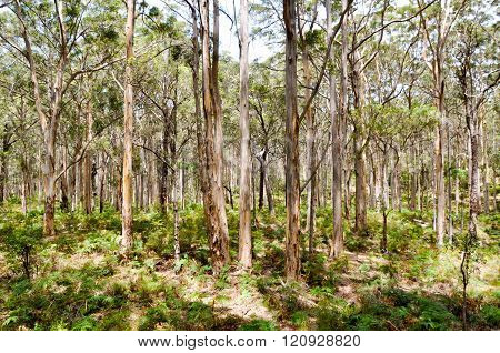 Boranup Forest: Pale Barked Trees