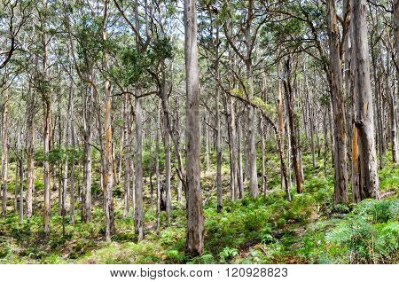 Tall Karri Trees: Leeuwin-Naturaliste National Park