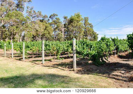 Vineyard: Growth