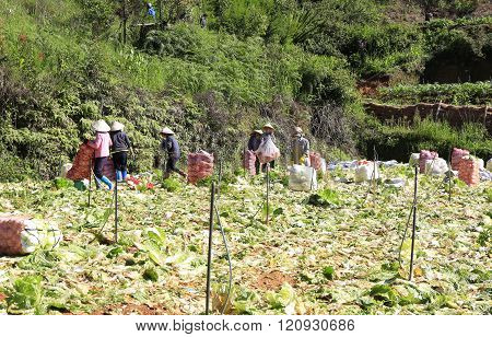 Dalat, Vietnam, February 3, 2016: Farmer working on vegetable filed to harvest napa cabbage