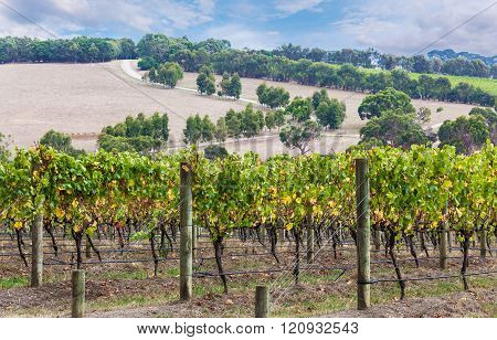 Grape Vines With Countryside