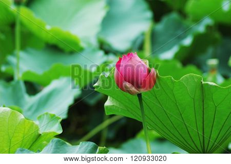 beautiful pink lotus flower with green leaves background