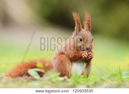 Squirrel;