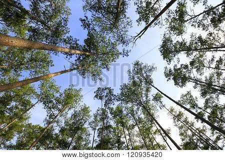 Tall pine trees against blue sky seen from the ground