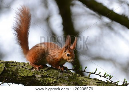 Squirell