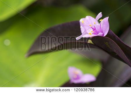 Setcreasea flower