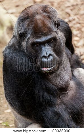 Gorilla Sits On A Stone And Looks To The Camera