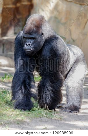 Gorilla Stakes Out His Territory
