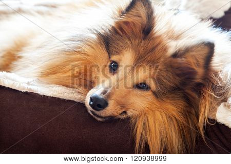 Shetland Sheepdog Lies In Dog Basket And Looks To The Camera
