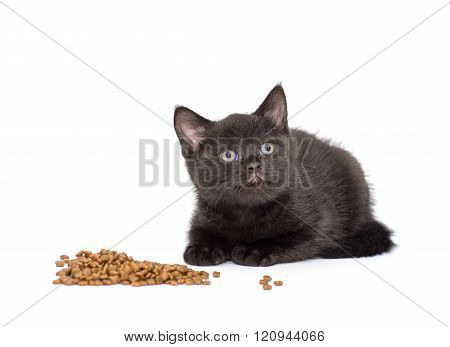 Adorable british little kitten eating