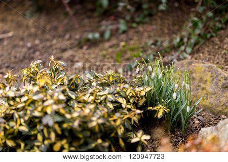 Snowdrop Bloom In Springtime