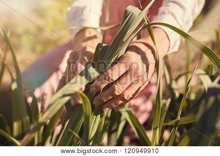 Wrinkled hands of a senior woman holding corn leaves outdoors