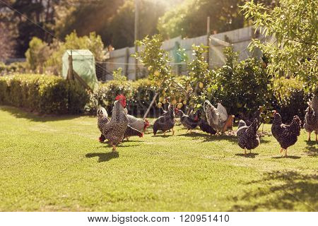 Free range chickens feeding on lush green grass in sunlight