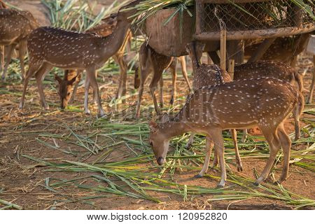 Chital, Cheetal, Spotted deer, Axis deer eating grass