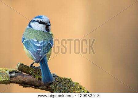 Blue Tit (parus Major) On A Branch