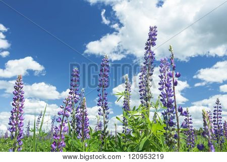 Cirrus cloudy sky above lilac color lupine flowers