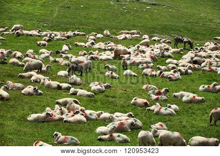 Herd of sheep in the meadow in Transylvania