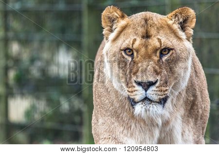 Lioness In Compound
