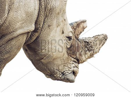Profile Portrait Of A White Rhinoceros - Portrait On The White Background