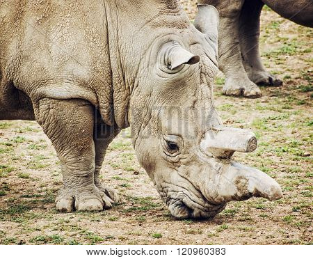 Profile Portrait Of The White Rhinoceros - Ceratotherium Simum Simum