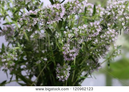 the leaves and flowers of thyme, bouquet of blooming thyme