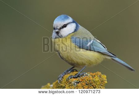 Blue Tit (parus Major) On A Branch