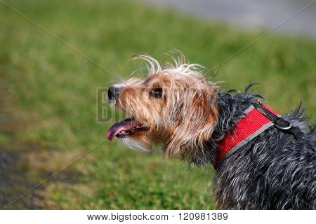 A terrier crossbreed puppy panting in a park