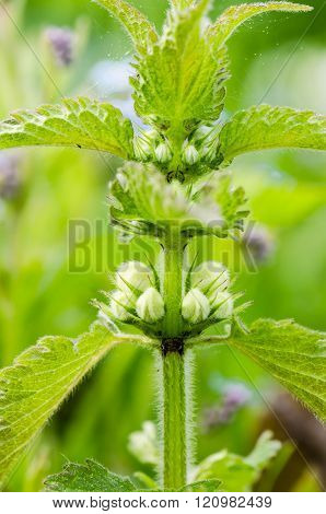 Blossoming nettle, close up