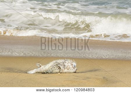 puffer fish dead on the beach, Arugam Bay, Sri lanka