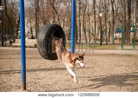 Husky Dog Jumps Over A Hurdle At The Training Ground