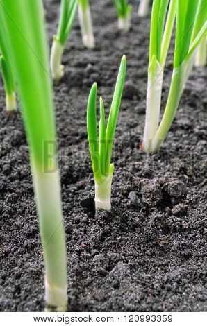 Close-up Of Onion Plantation
