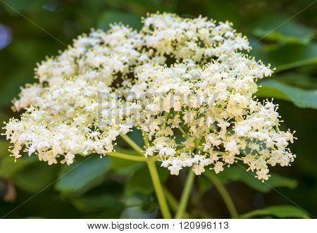 Closeup Of Elder Flower (sambucus Nigra) With Short Depth Of Field