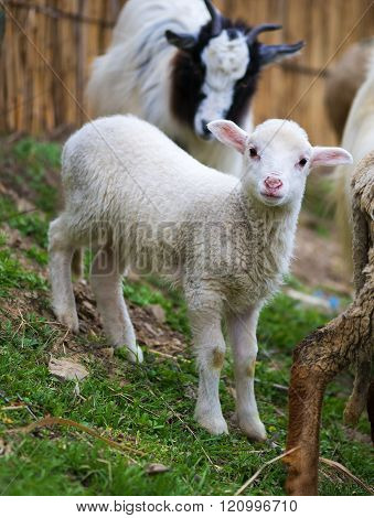 Hite Suffolk Lamb, A Few Days Old, Standing On The Grass
