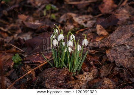 Snowdrop Flowers Covered With Dark Leaves