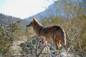 foto of coyote  - coyote observing his territory desert museum tucson arizona