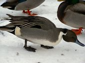 stock photo of pintail  - a picture of a pintail duck up close and personal - JPG