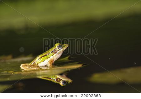 Green Paddy Frog Reflected In The Water