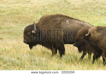 Pair Of Buffalo
