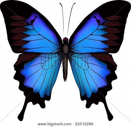 Blue Butterfly Papilio Ulysses (mountain Swallowtail) Isolated Vector On White Background