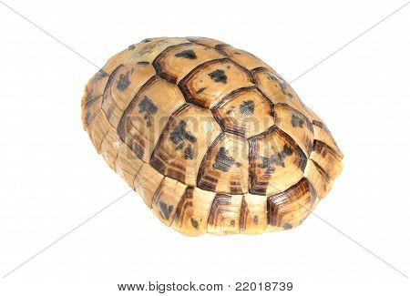 Illegal Souvenir - Carapace Of Tortoise Turtle