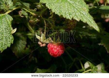 aspberry Berries Ripen On A Bush