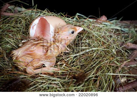 Wenig nass Baby Huhn aus ein braunes Ei geschlüpft