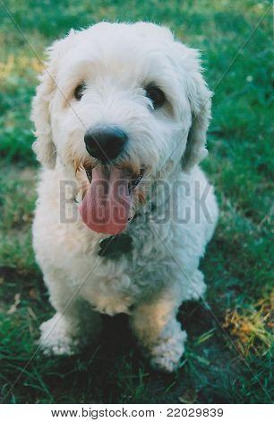 Cocker Spaniel/Poodle