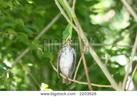 Green Vine Snake Eating Vine Snake Eating Bird