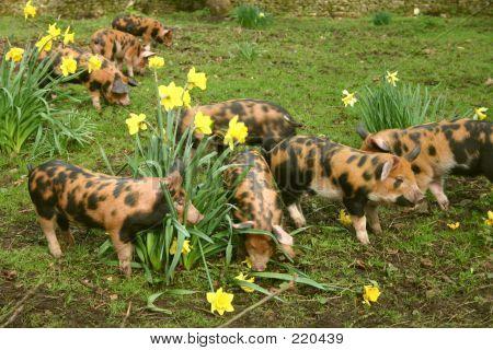 Piglets013