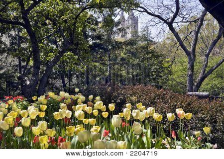 Tulip Garden In New York Central Park