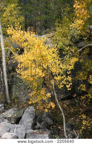 Aspen Trees Fall Foliage Landscape