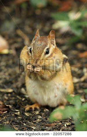 Eastern Chipmunk with Cheeks Full of Food